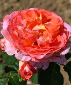 mamiedittiere rose novaspina