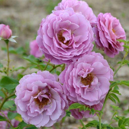 mamiethalene rose novaspina