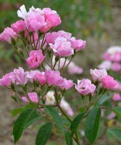 mariettasilva rose novaspina