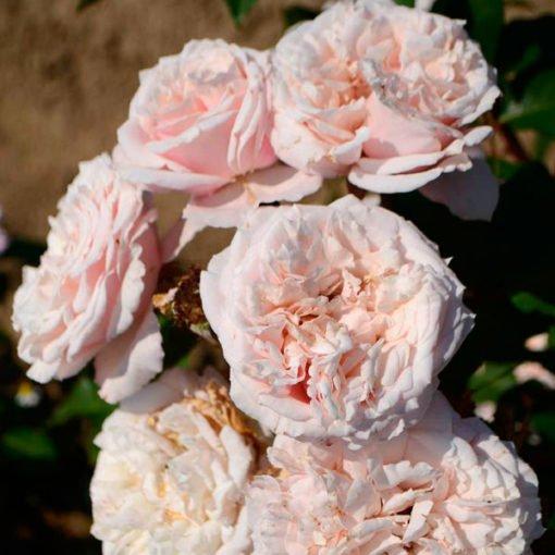 marisa rose novaspina