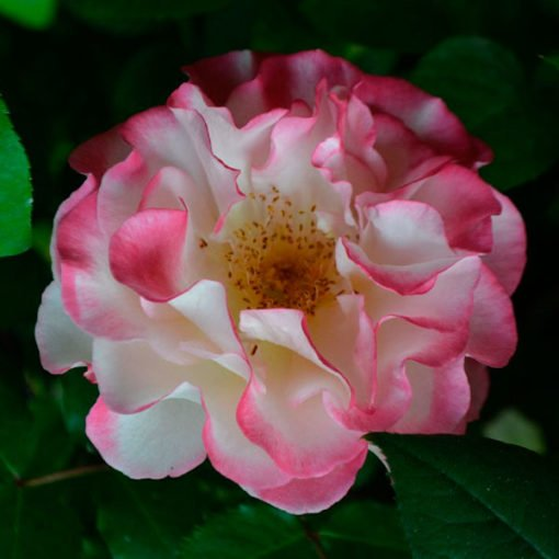marseilleenfleurs rose novaspina