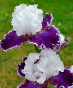 merryamigo iris novaspina