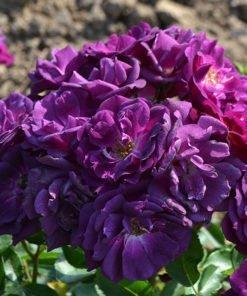 midnightblue rose novaspina
