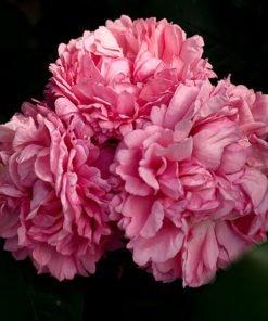 millamy rose novaspina