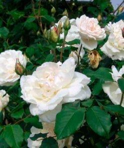 mmeAlfredCarriere rose novaspina