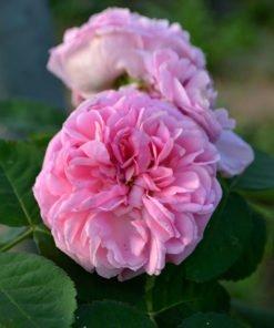 moderatafonte rose novaspina