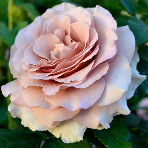mokarosa rose novaspina