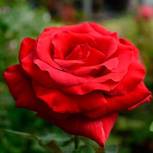 mr_Lincoln_rose_novaspina