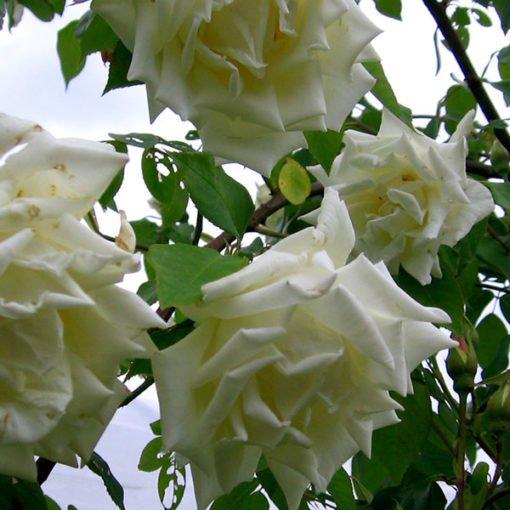 mrsherbertstevens rose novaspina