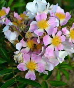 multiflora adenochaeta rose novaspina