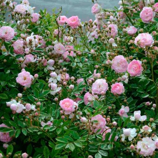 murrina rose novaspina
