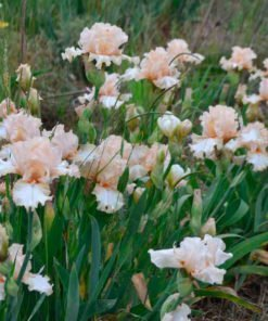 neverbeendressed iris novaspina