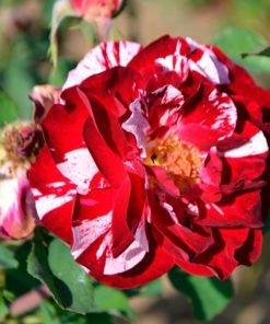 new_image_rose_novaspina