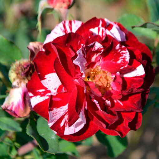 new_image_rose_novaspina