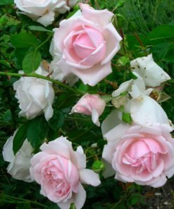 newdawn rose novaspina