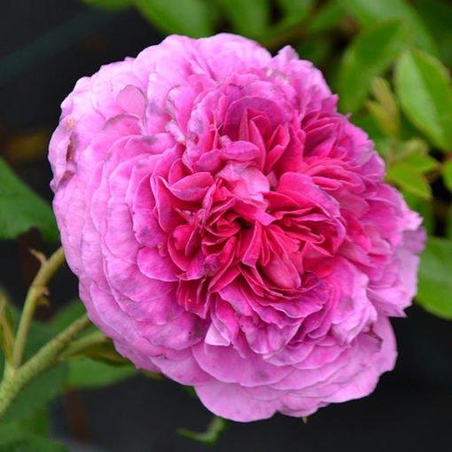 oraziovecchi rose novaspina