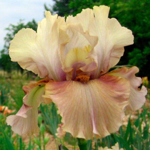 ozonealert iris novaspina