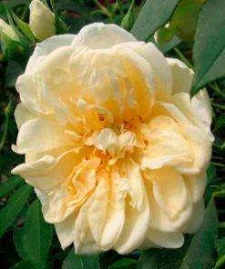 parcdemaupassant rose novaspina