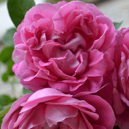 paulneyron rose novaspina