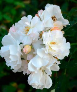 penelope rose novaspina