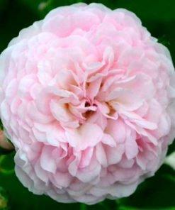 pinkprosperity rose novaspina
