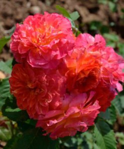 pourlamourdunchateau rose novaspina