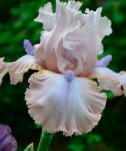powerpoint iris novaspina