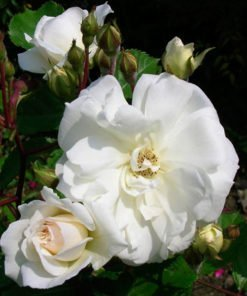 prosperity rose novaspina