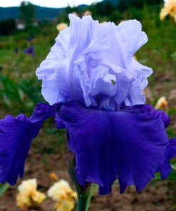 proudtradition iris novaspina