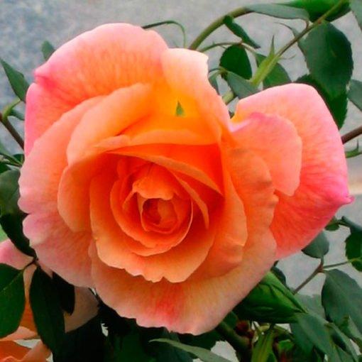 puertadelsol rose novaspina