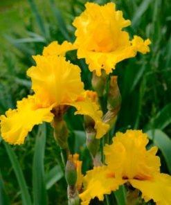 pureasgold iris novaspina