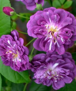 purpleskyliner rose novaspina