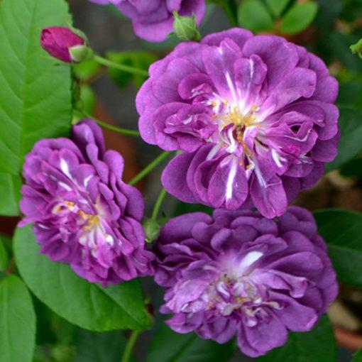 purpleskyliner rose novaspina