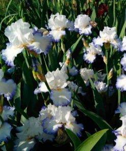 queenscircle iris novaspina
