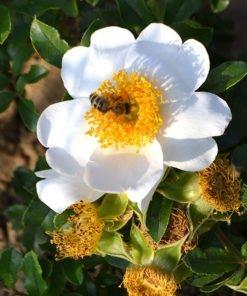 r.clinophylla rose novaspina