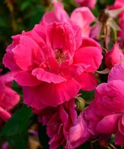 redoldblush rose novaspina