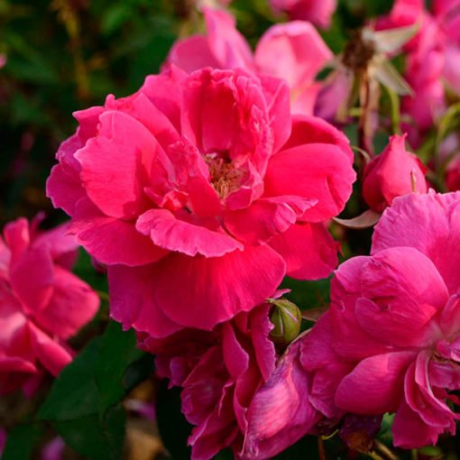 redoldblush rose novaspina