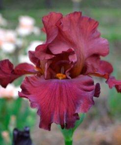 redsurge iris novaspina