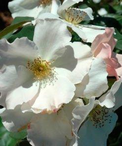 revedemirelle rose novaspina