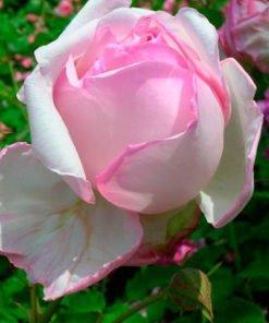 ricordo-di-giosue-carducci_rose_novaspina