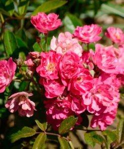 robinhood rose novaspina