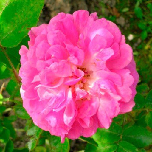rosa_multiflora_platyphylla_rose_novaspina