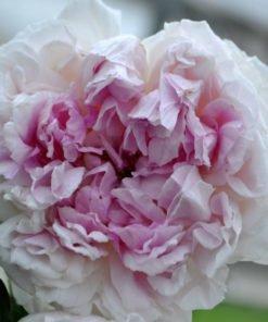 rosalba-carriera_rose_novaspina