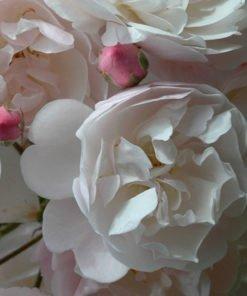 RoseDelacroix_rose_novaspina