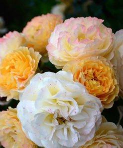 rosedegerberoy rose novaspina