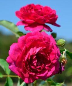 Rosengarten Zweibrueken