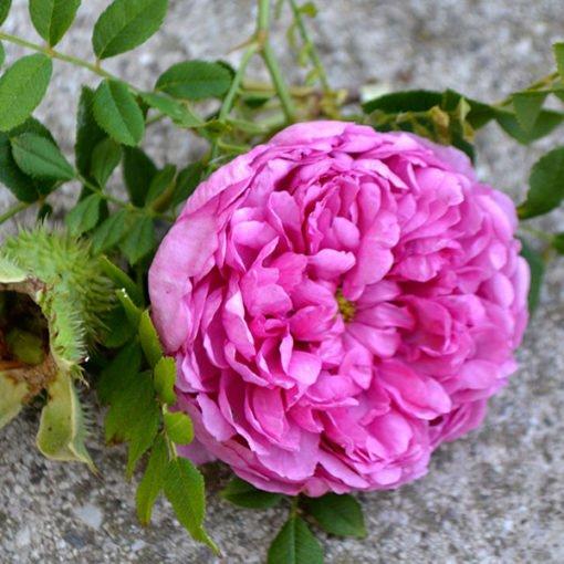 roxburghiiplena rose novaspina