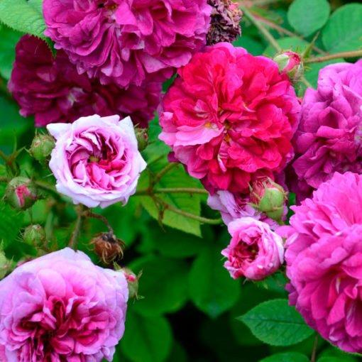 russelliana rose novaspina