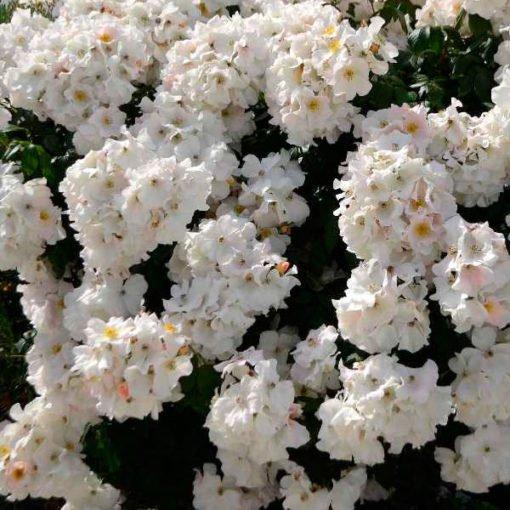 sallyholmes rose novaspina