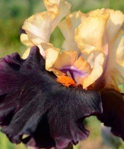 secretservice iris novaspina